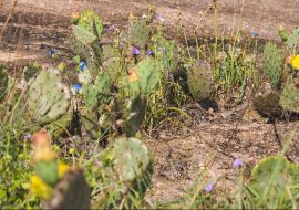 In a naturally-replicated experiment, cacti and flies stick together
