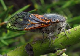 Well-Behaved Cicadas, Messy Symbionts: an Audio Story about Cicada Mitochondrial Genomes