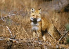 A tale of two foxes: The genetic story of the Sierra Nevada red fox