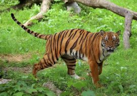 Will the South China tiger make its way back to the wild again?