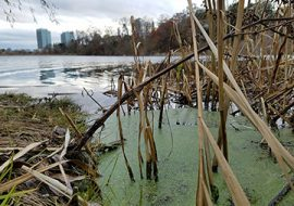Oversalted: How does a tiny floating plant cope with urban runoff?
