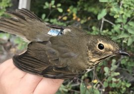 Studying the genetics of migration using hybrids from a migratory divide