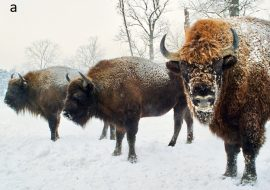Is European bison really back?